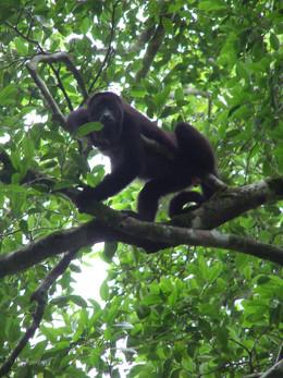 howler monkey1.jpg