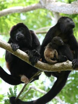 Howler-Monkeys.jpg