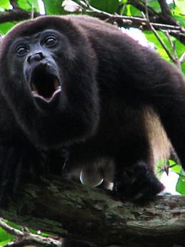 howler-monkey-_edited.jpg
