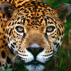 jaguar-head-close-up.jpg