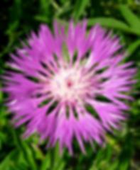 Flockenblume.png