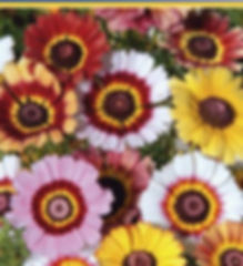 Wucherblume.jpg