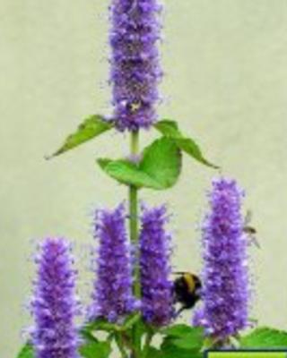 Agastache foeniculum - Anisysop.png
