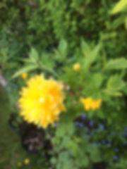Kerrie 'Pleniflora, Ranunkelstrauch.JPG