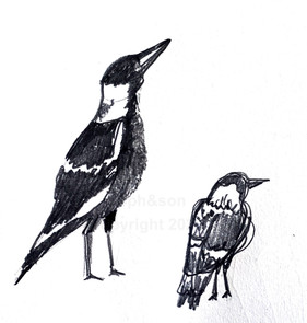 magpies sketch in pencil by soph&son  copyright soph&son 2021 all rights reserved