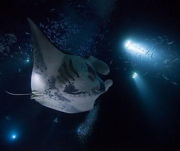 night manta ray snorkel