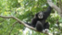 wild-gibbons-at-flight.jpg