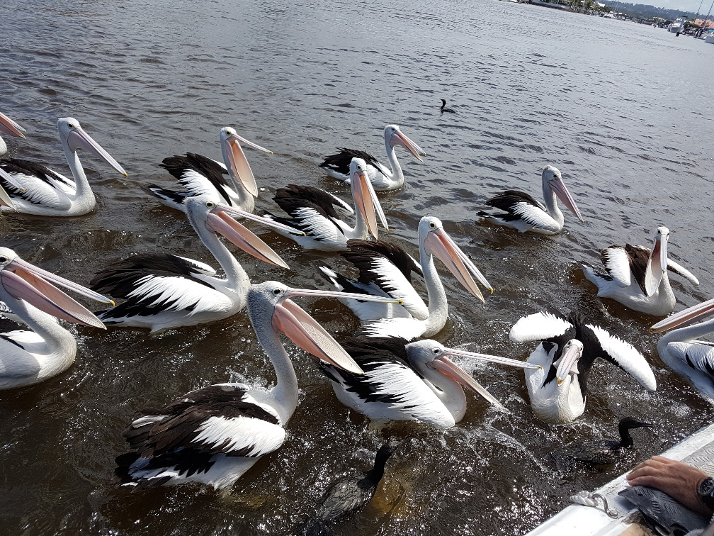 National-Seniors-Redcliffe-Feeding the Pelicans