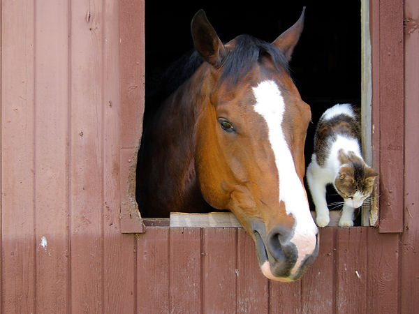 barn horse and cat