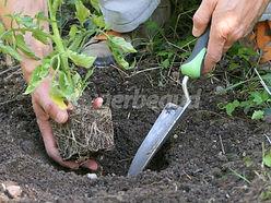 plantation-tomate.jpg