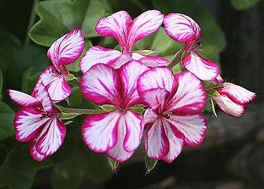 geranium-lierre-zoom.jpg