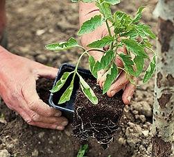 tomate-plantation-300x270.jpg