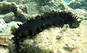 Sea_cucumber.jpeg