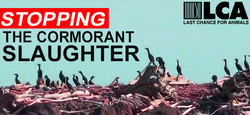 Stopping the Cormorant Slaughter