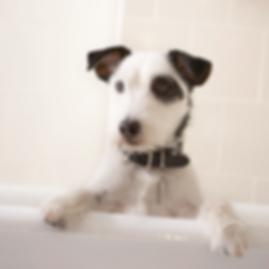 Terrier ready for a bath before a mini groom