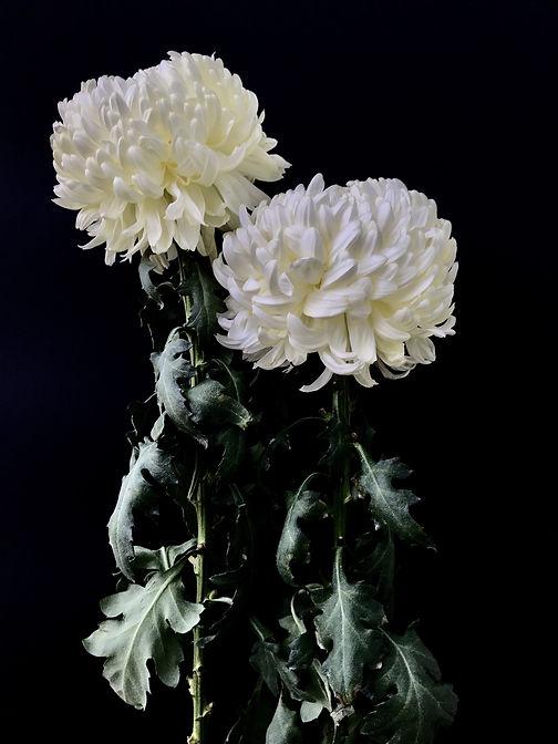 Simonetta Rossetti, crisantemi - duetto.