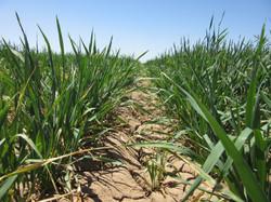 TRACE wheat
