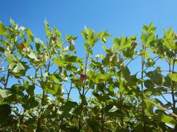 Nitrogen stressed cotton