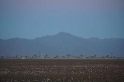 Maricopa Cotton