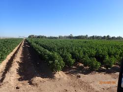 Cotton 2016a