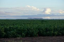 Cotton fields of Maricopa
