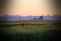 WheatMorning