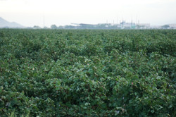 Mature Cotton