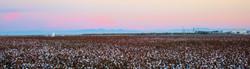 Cotton end of season