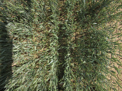 TRACE nadir wheat