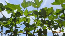 Cotton Leaves