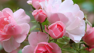 Hardy Roses To Grow
