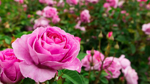 How to grow roses for beginners.