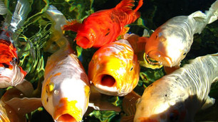Building and Maintaining a Koi Pond