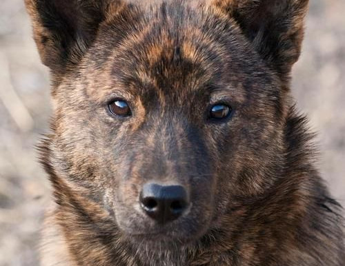 RARE DOG BREEDS YOU DIDN'T KNOW ABOUT