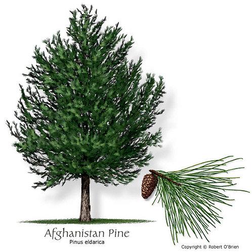 Afghanistan Pine