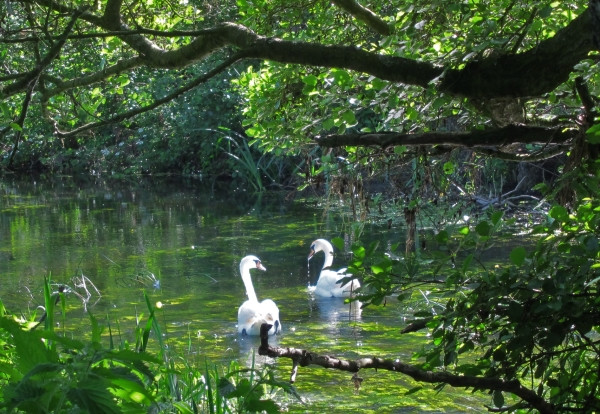 Swans on the River Waveney