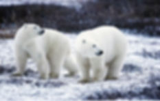 Polar Bears are thriving despite predict