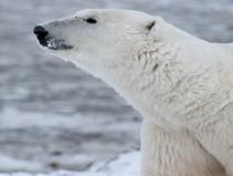 Are Polar Bears thriving despite predictions