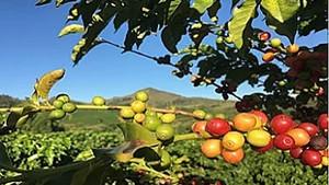 Kona Coffee Best tasting Healthy coffee in America