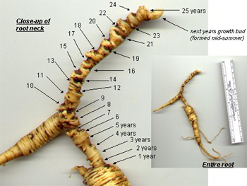 The Difference Between Wild Simulated Ginseng with Cultivated Ginseng