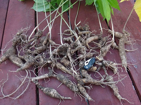 What is Wild-Simulated American Ginseng