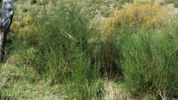 Bombala R Weeds VIII