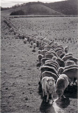 Feeding sheep.jpg