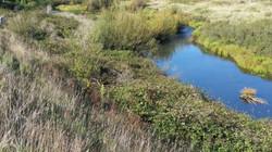 Bombala River Weeds VII