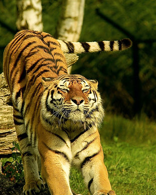 animal-animal-photography-big-big-cat-57