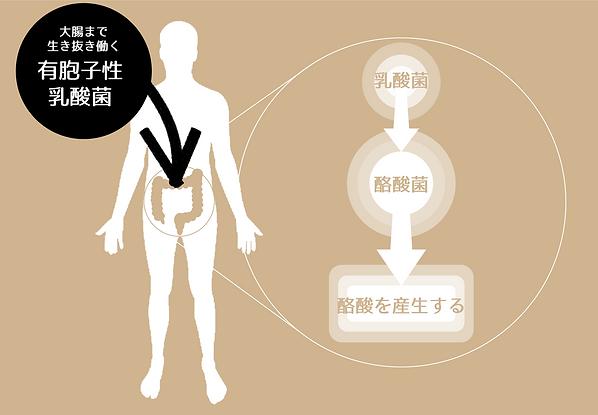 ルルミルクの特徴2大腸まで生き抜く有胞子性乳酸菌