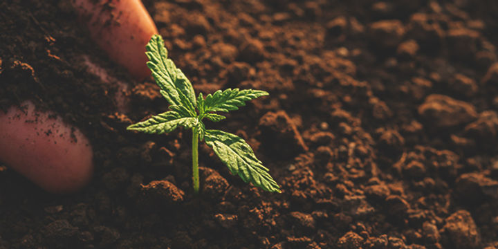 Transplanting-Marijuana-Plants-1.jpg
