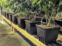 pots of cannabis plants.jpg