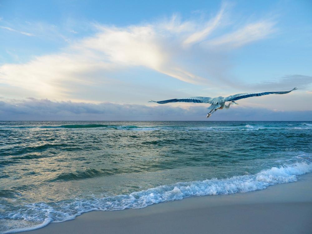 Blue Heron Soaring