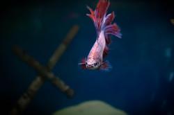 001 - Betta Fish copy